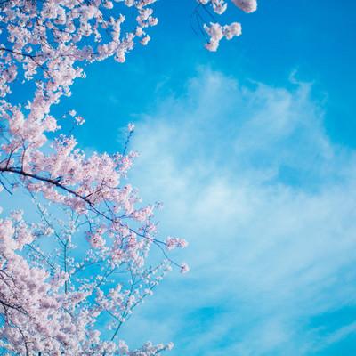 「桜のシーズン」の写真素材