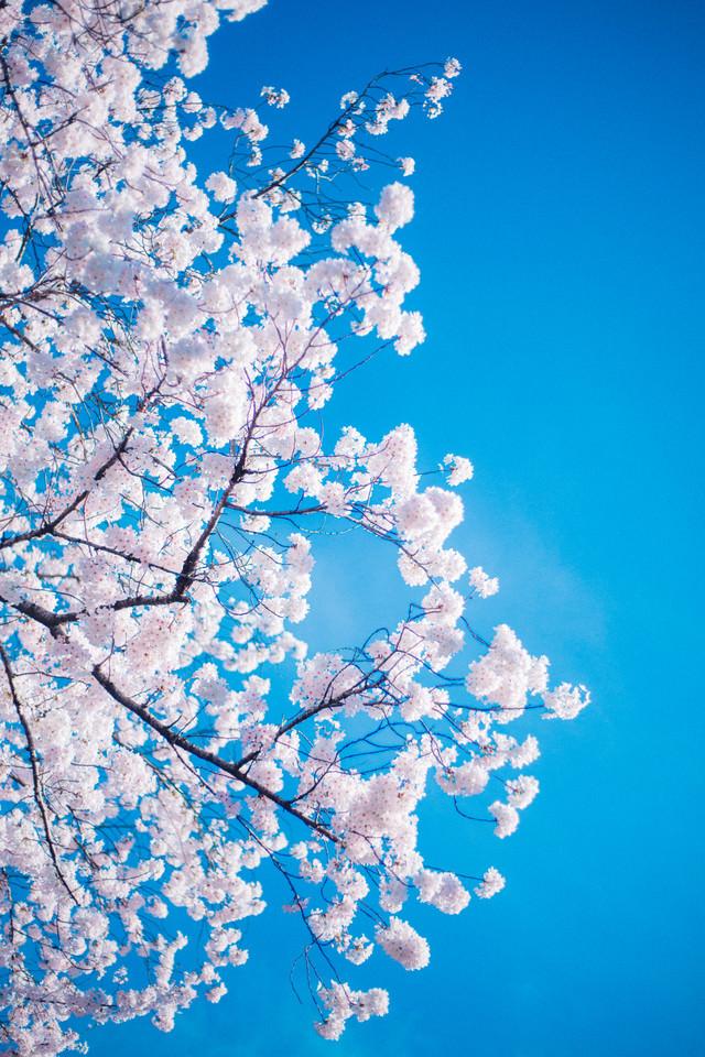 「桜の花言葉桜の花言葉」のフリー写真素材を拡大