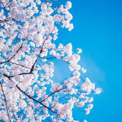 「桜の花言葉」の写真素材