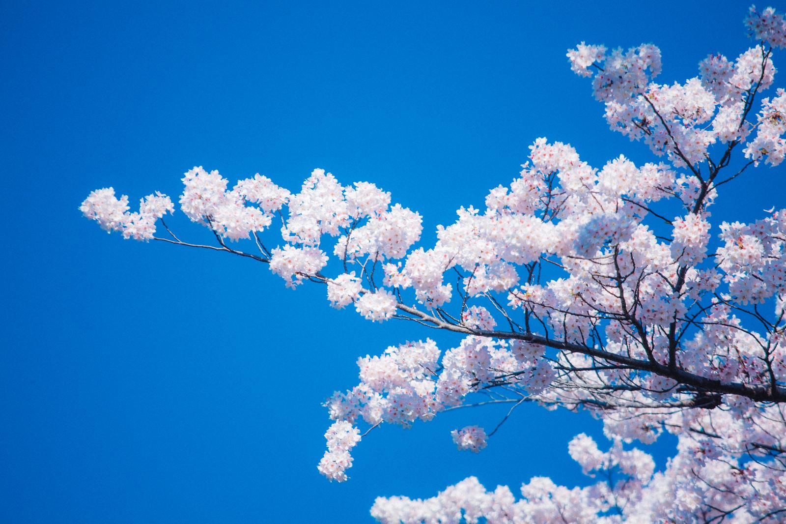 「見頃の桜」の写真