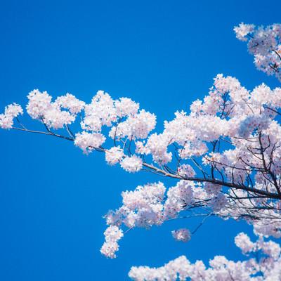 「見頃の桜」の写真素材
