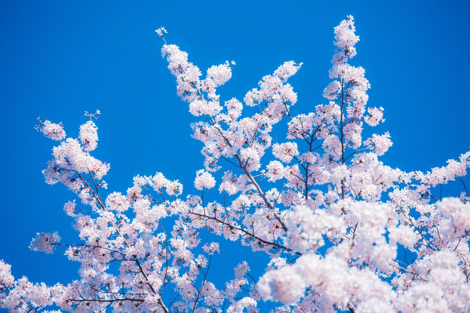 「快晴と桜」の写真