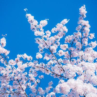 快晴と桜の写真