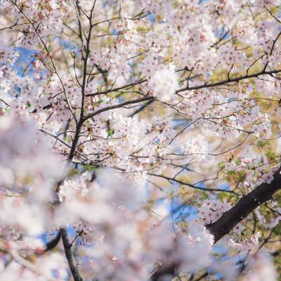 「葉桜」の写真素材