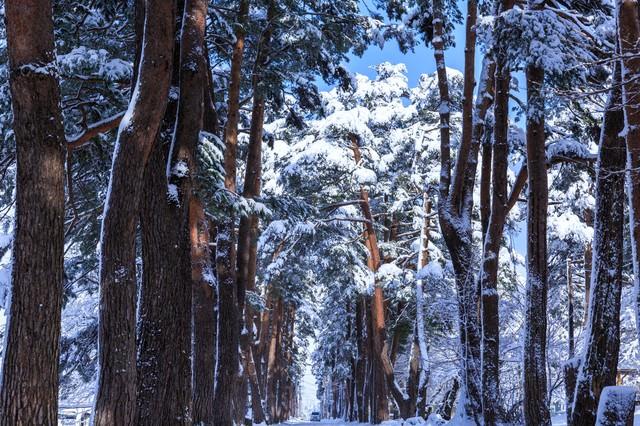雪の松並木の写真