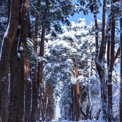 「雪の松並木」の写真素材