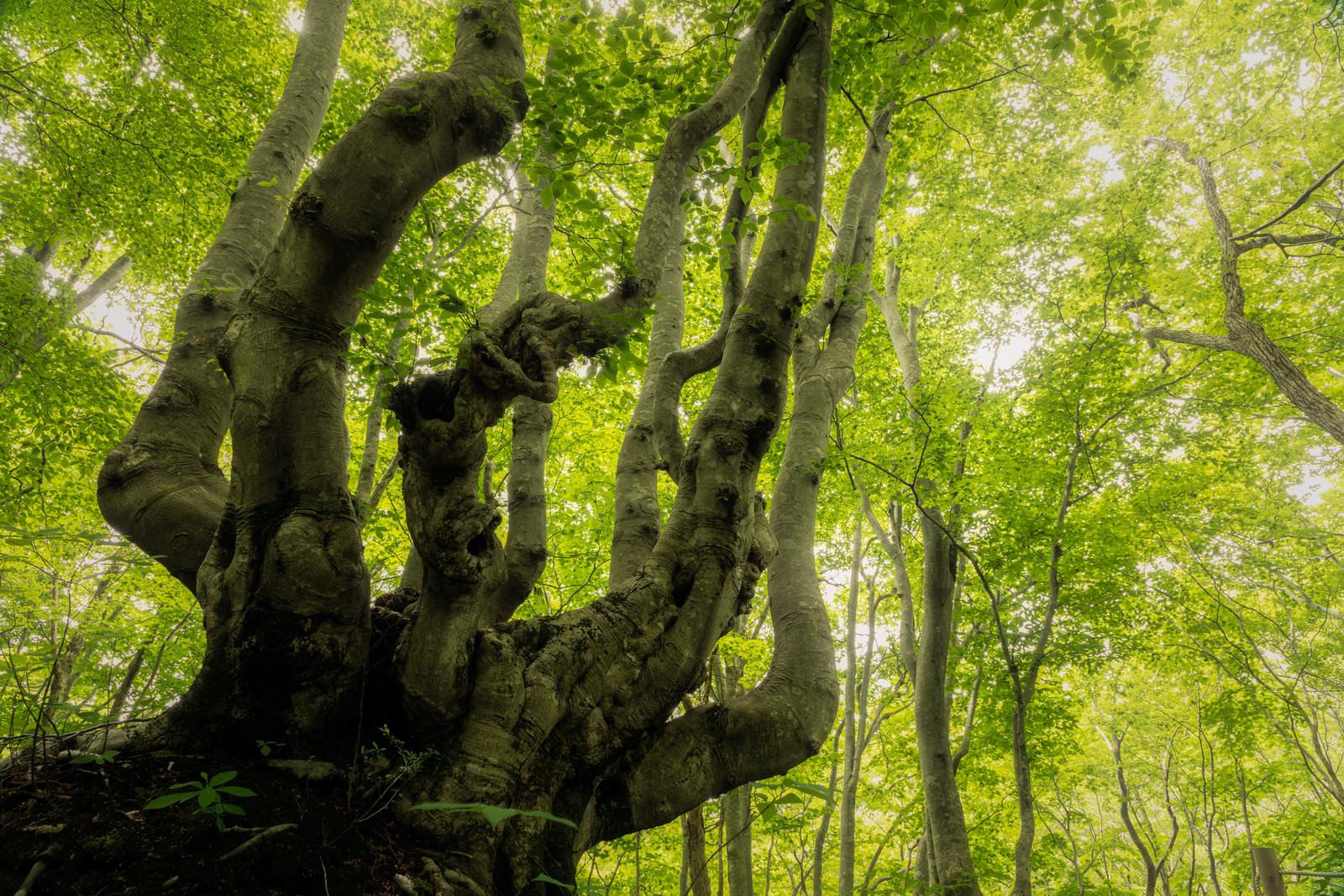 「新緑のブナの木」の写真