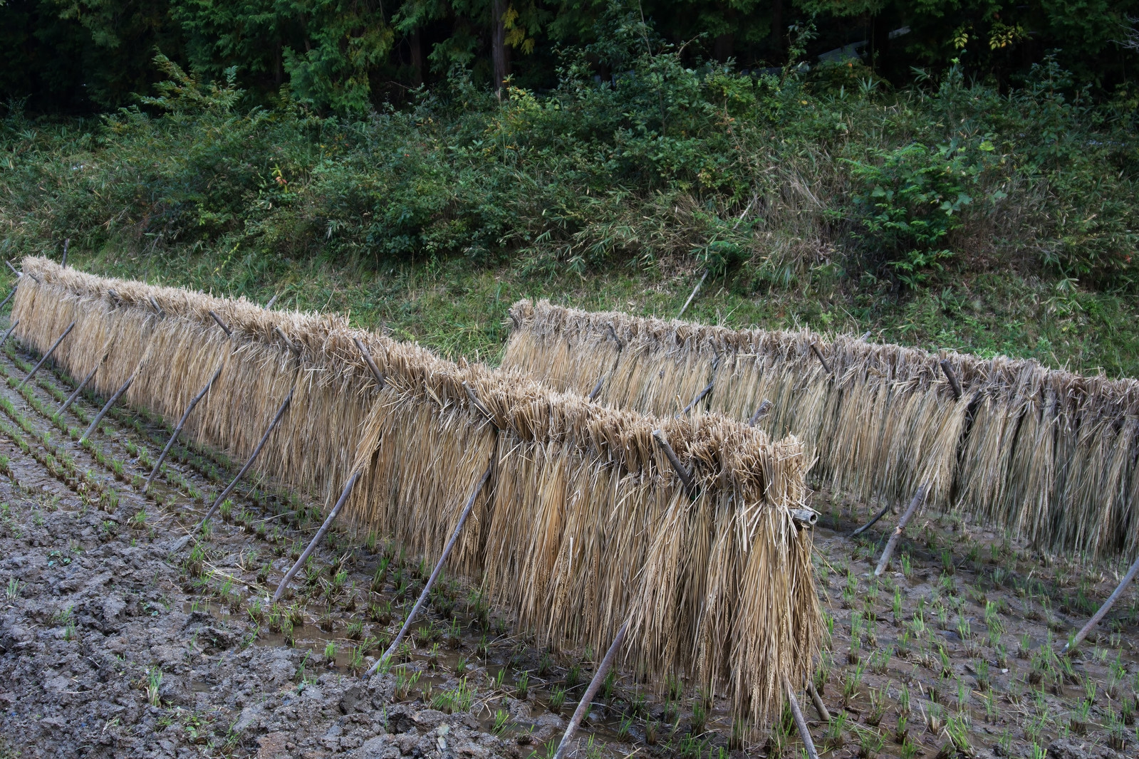 「雨に濡れてしまった天日干ししていた稲」の写真