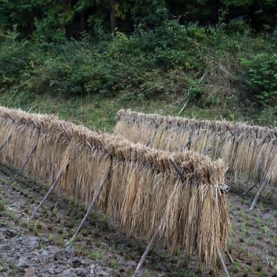 雨に濡れてしまった天日干ししていた稲の写真