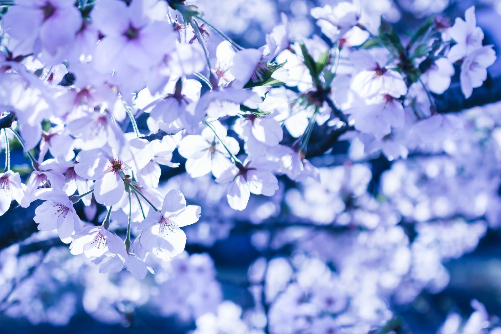 「冷たい桜 | 写真の無料素材・フリー素材 - ぱくたそ」の写真