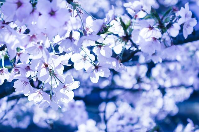 冷たい桜の写真