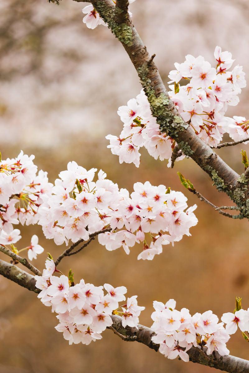 「枝と桜の花」の写真
