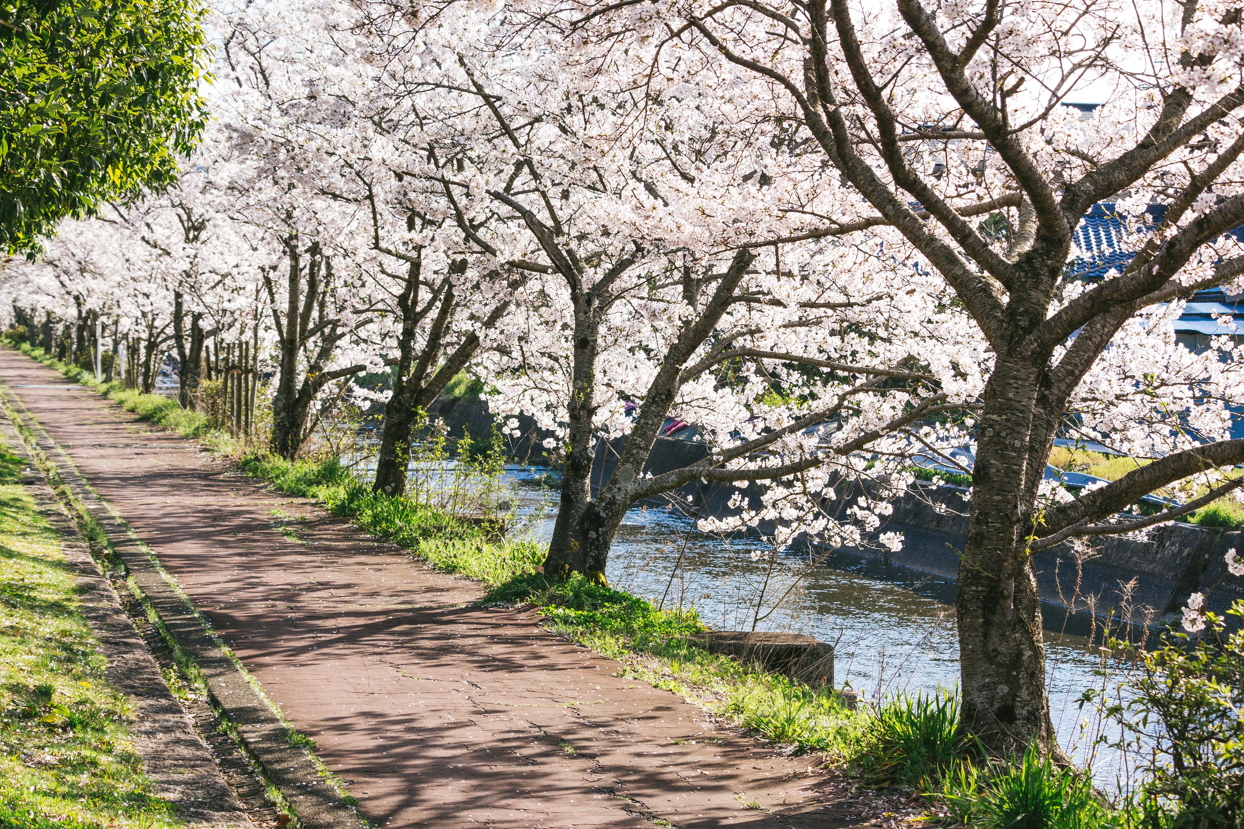 満開の桜並木 無料の写真素材はフリー素材のぱくたそ