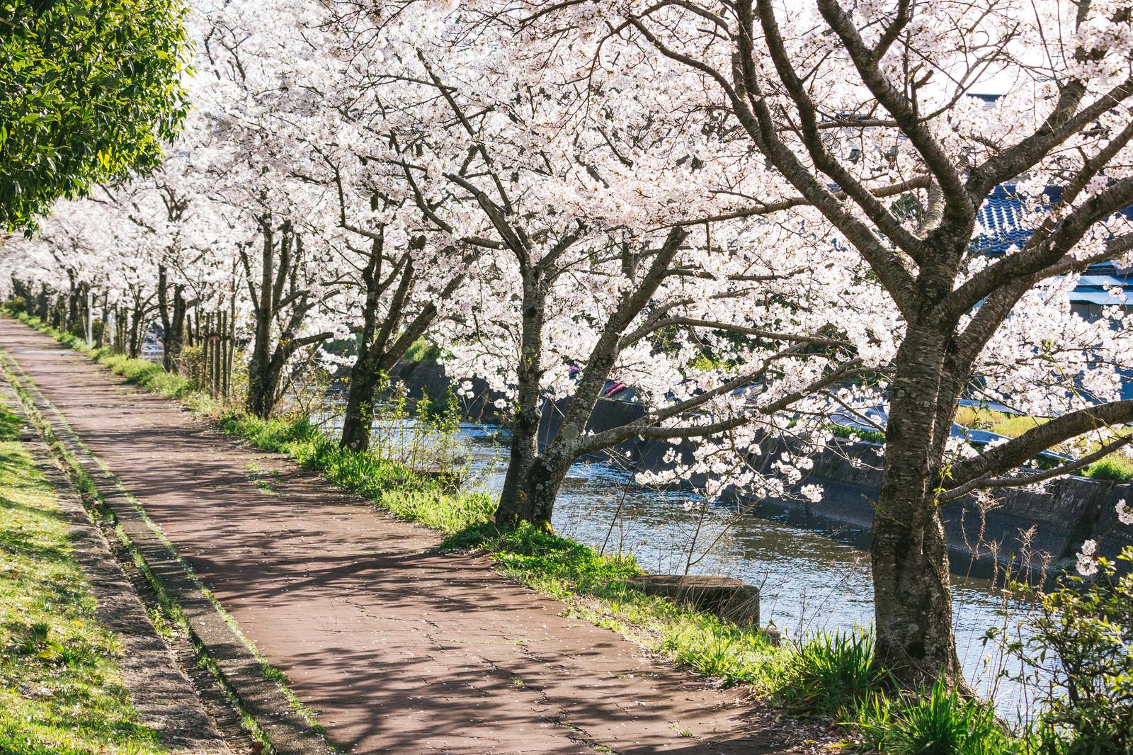 「満開の桜並木満開の桜並木」のフリー写真素材を拡大