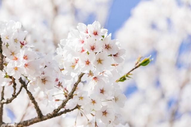 「桜咲く」のフリー写真素材