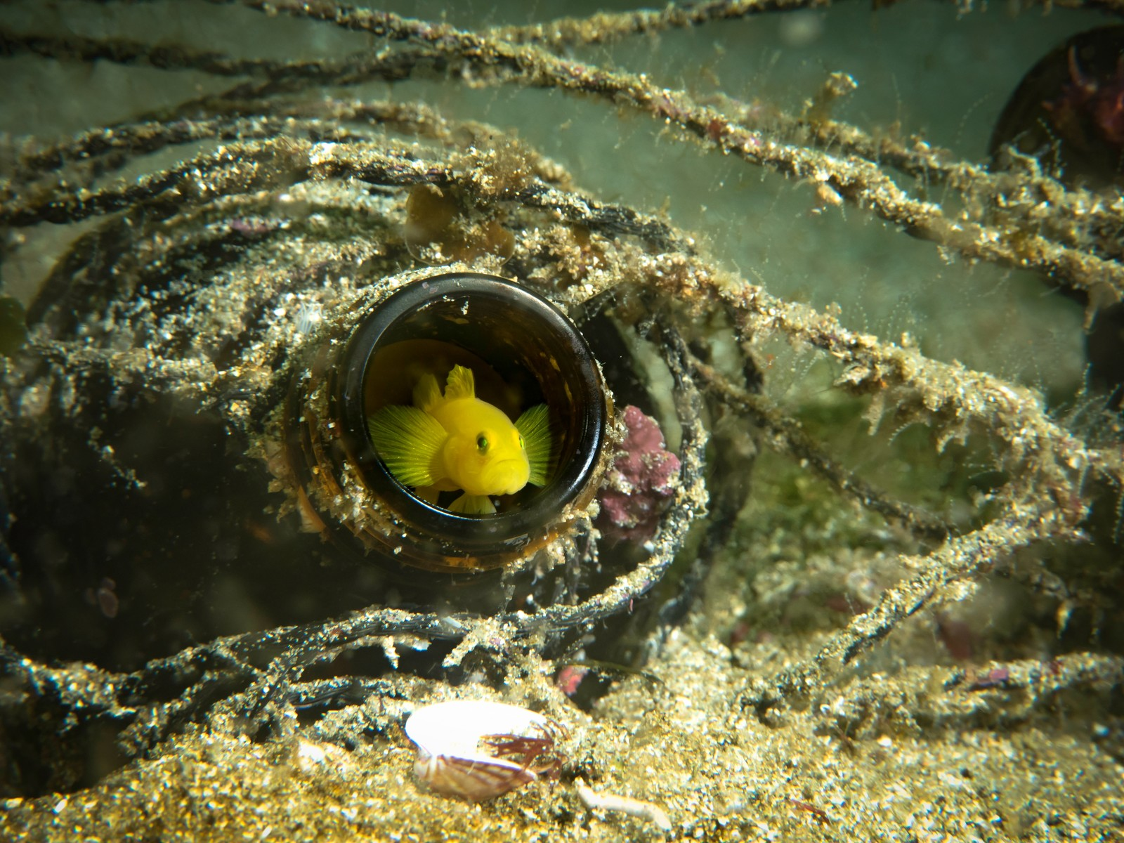 「ミジンベニハゼ(伊豆の海)」の写真