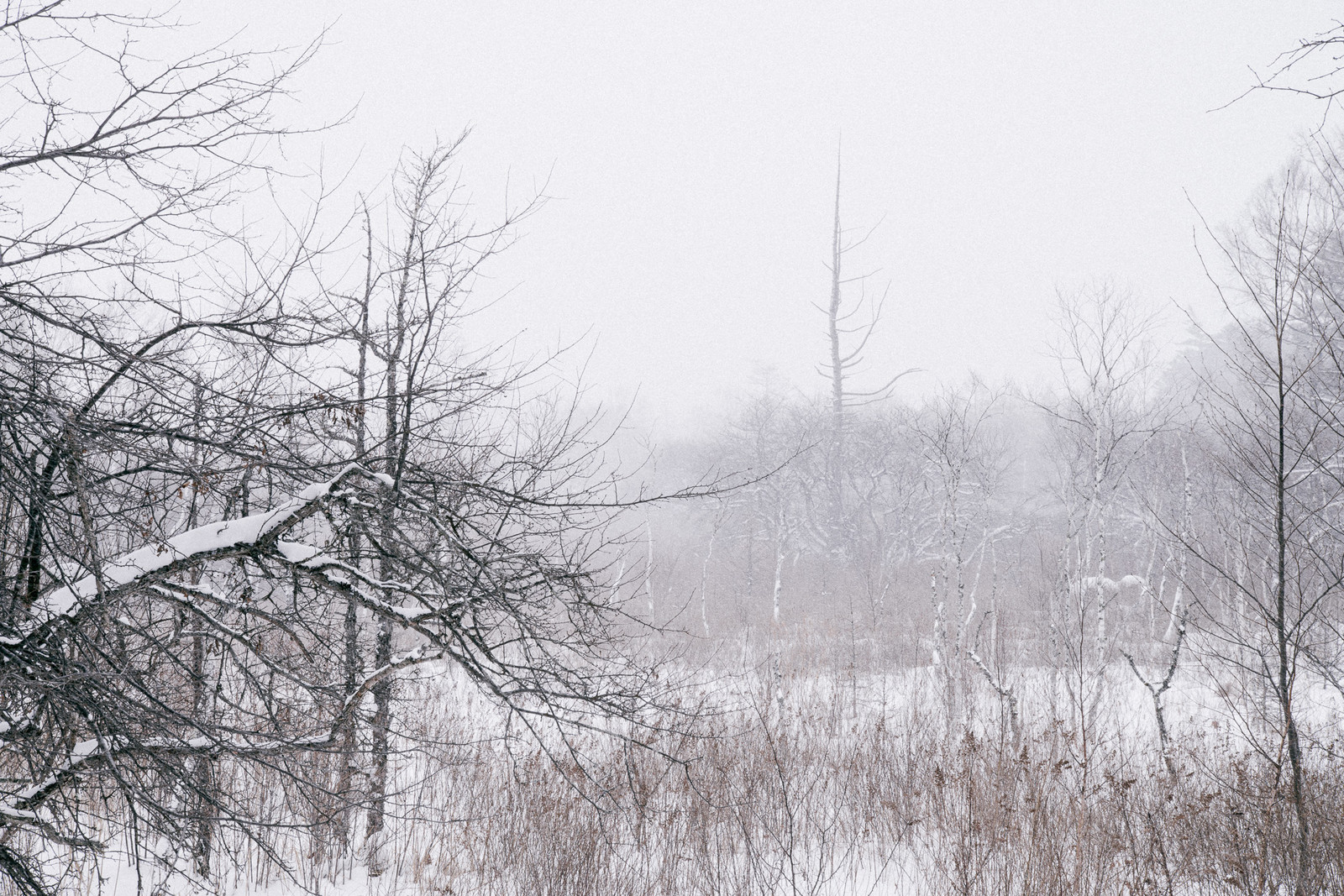 「雪積もる針葉樹と白樺」の写真