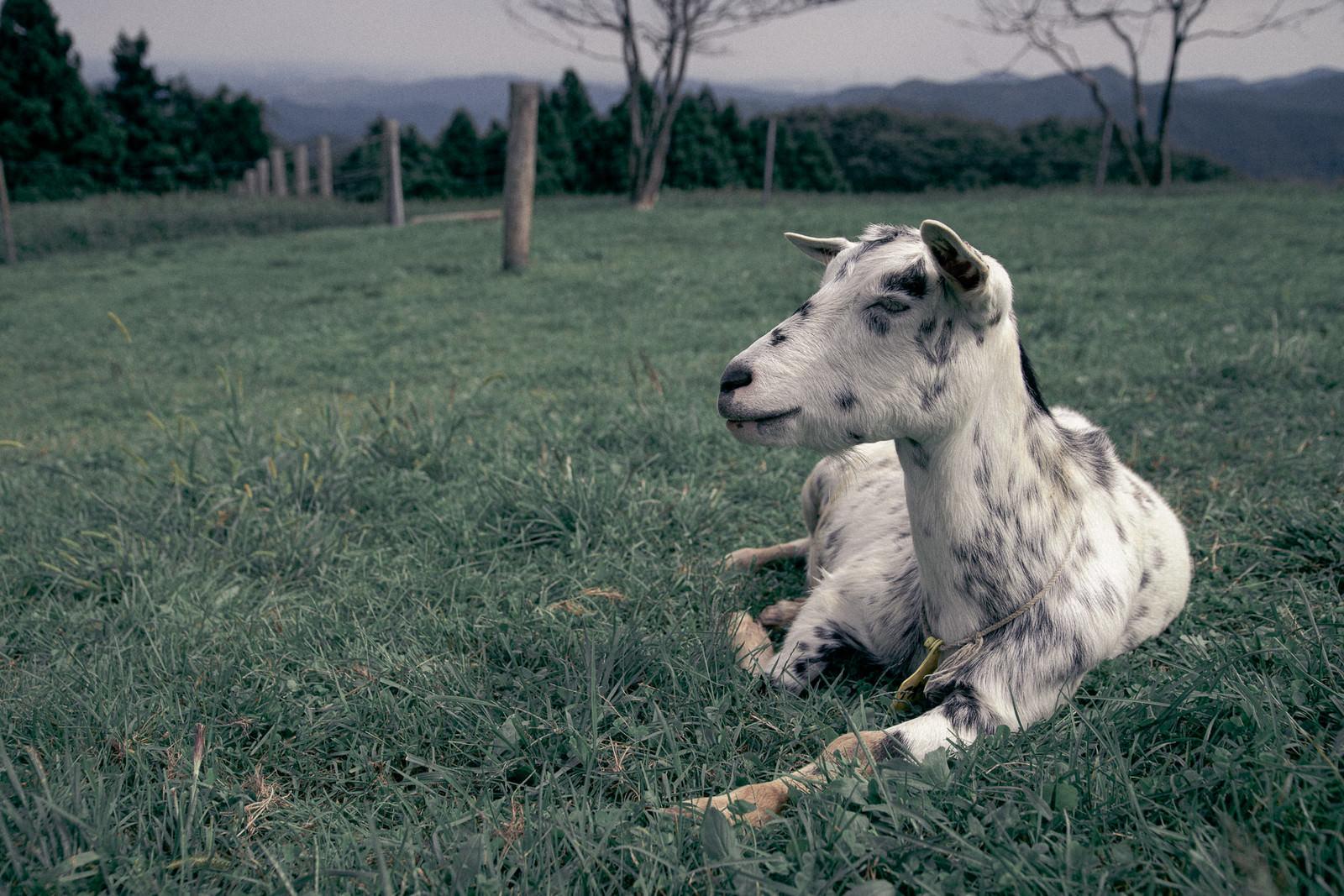 「牧場とうなだれる山羊」の写真