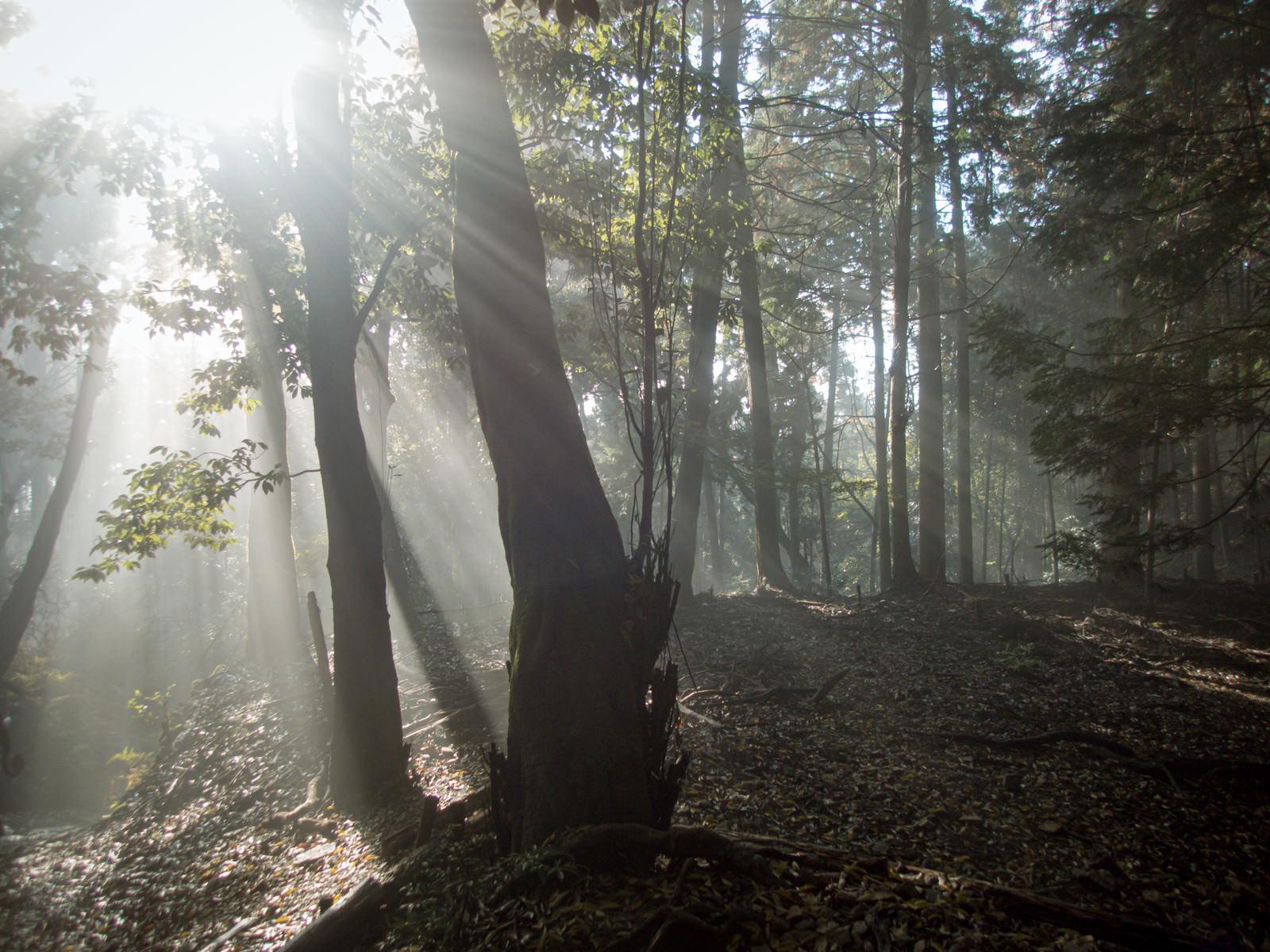 「朝日が射し込む森」の写真