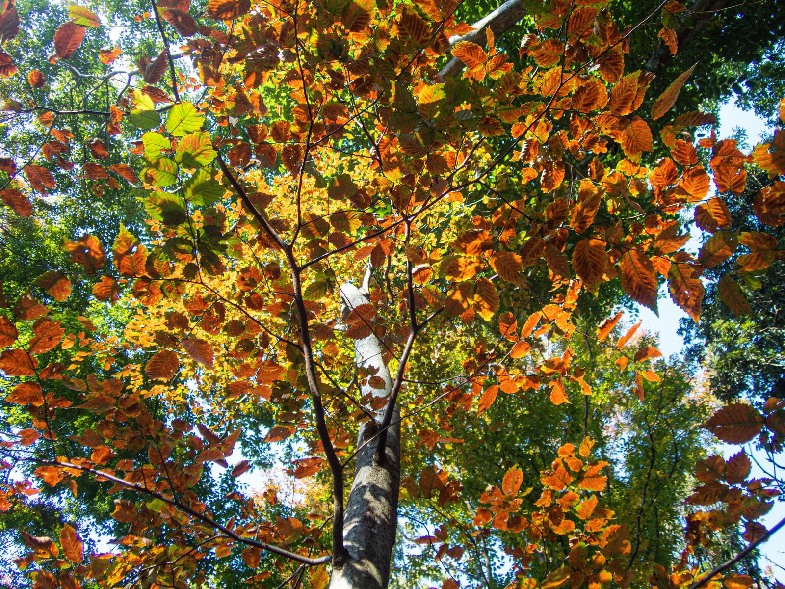 「紅葉して色付く葉の裏側」の写真