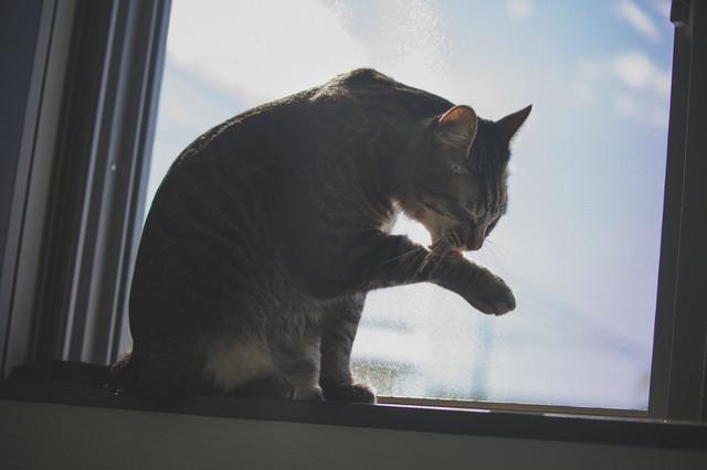 手を毛づくろいする猫の写真