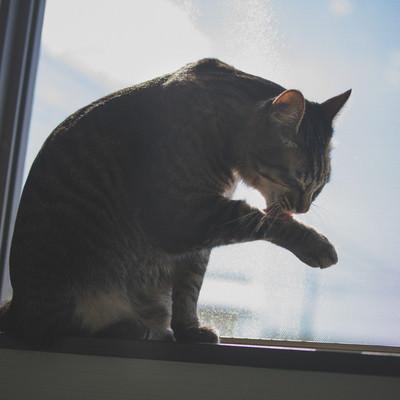 「手を毛づくろいする猫」の写真素材