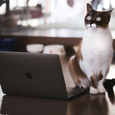 「ノートパソコンを使ってプレゼンする猫」の写真素材