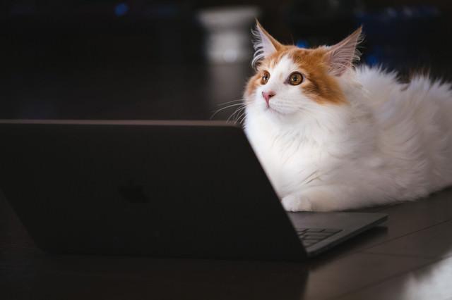 モフモフの秘書猫の写真