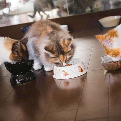 「猫たちのご飯タイム」の写真素材