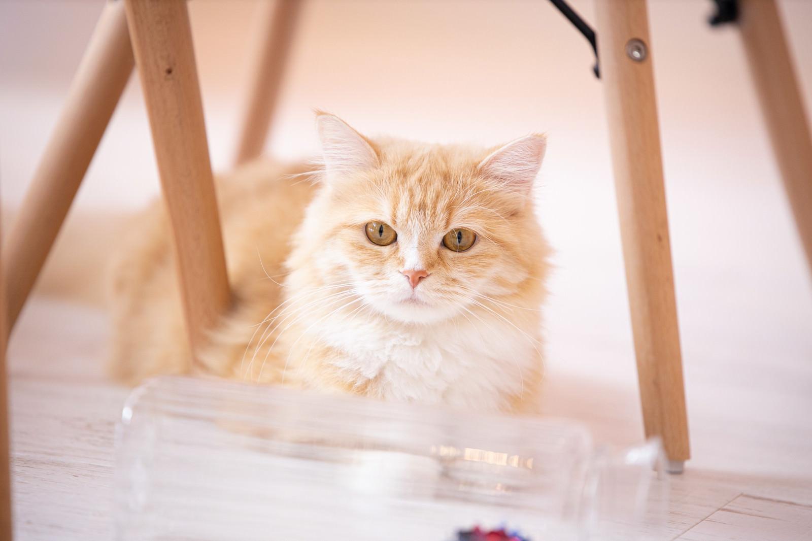 「キョトンとした氷上のラガマフィン(猫)」の写真