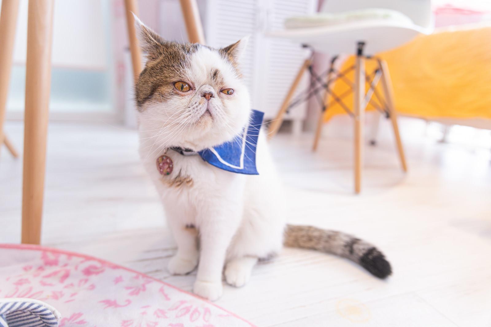 「退屈そうな猫(エキゾチックショートヘア)」の写真