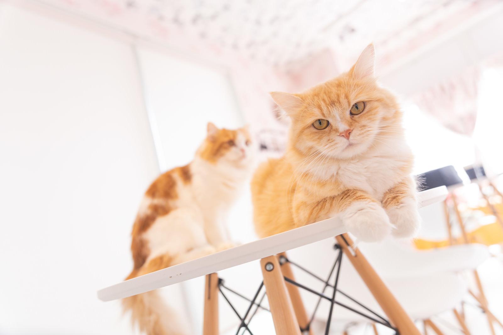 「テーブルの上でくつろぐ猫たち」の写真
