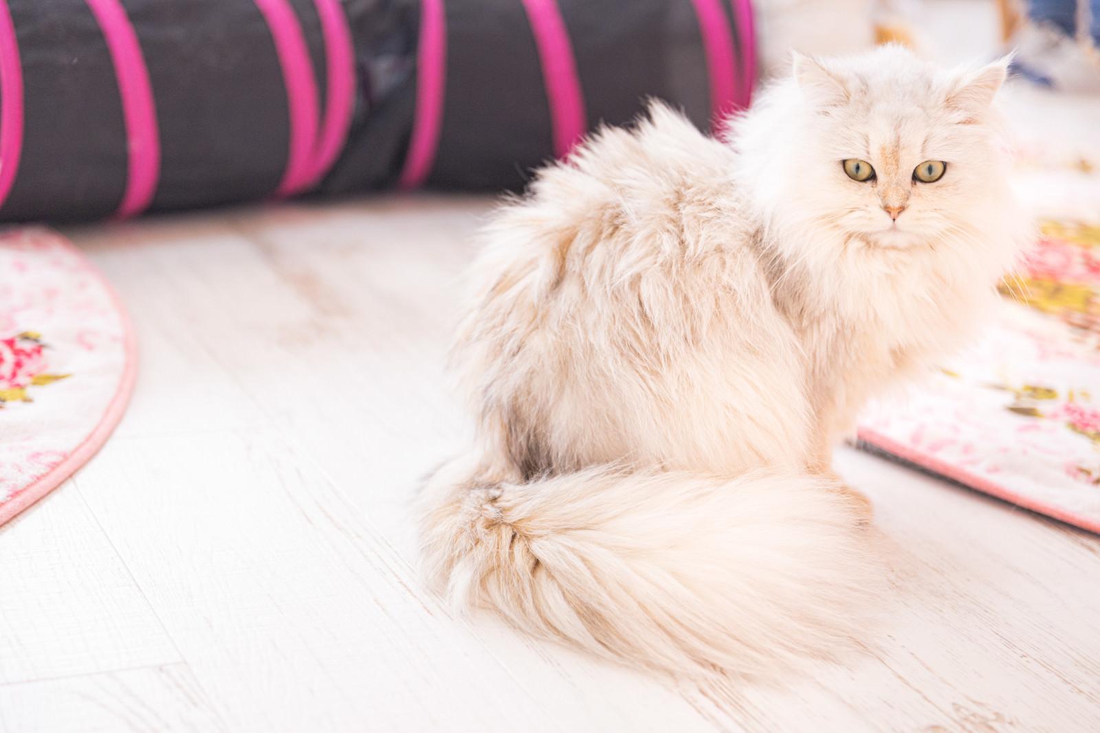 「くっきりとしたアイラインのペルシャ猫」の写真