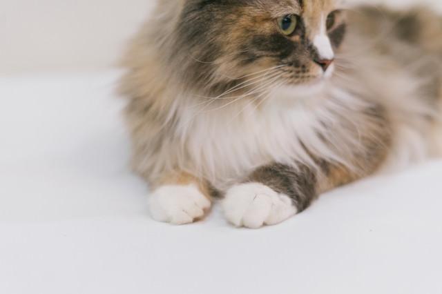 おすわり猫ちゃんの両手の写真