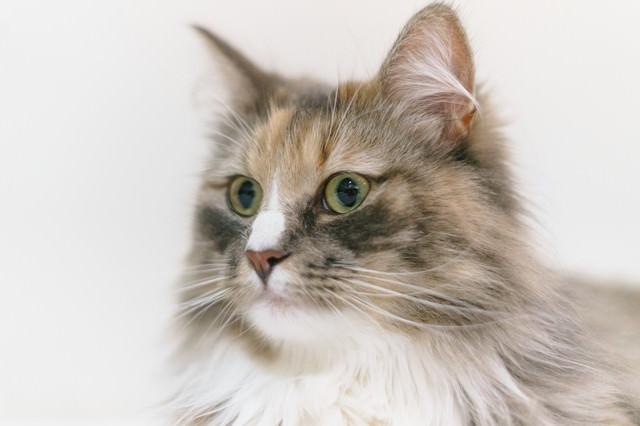 聞き耳を立てる猫の写真