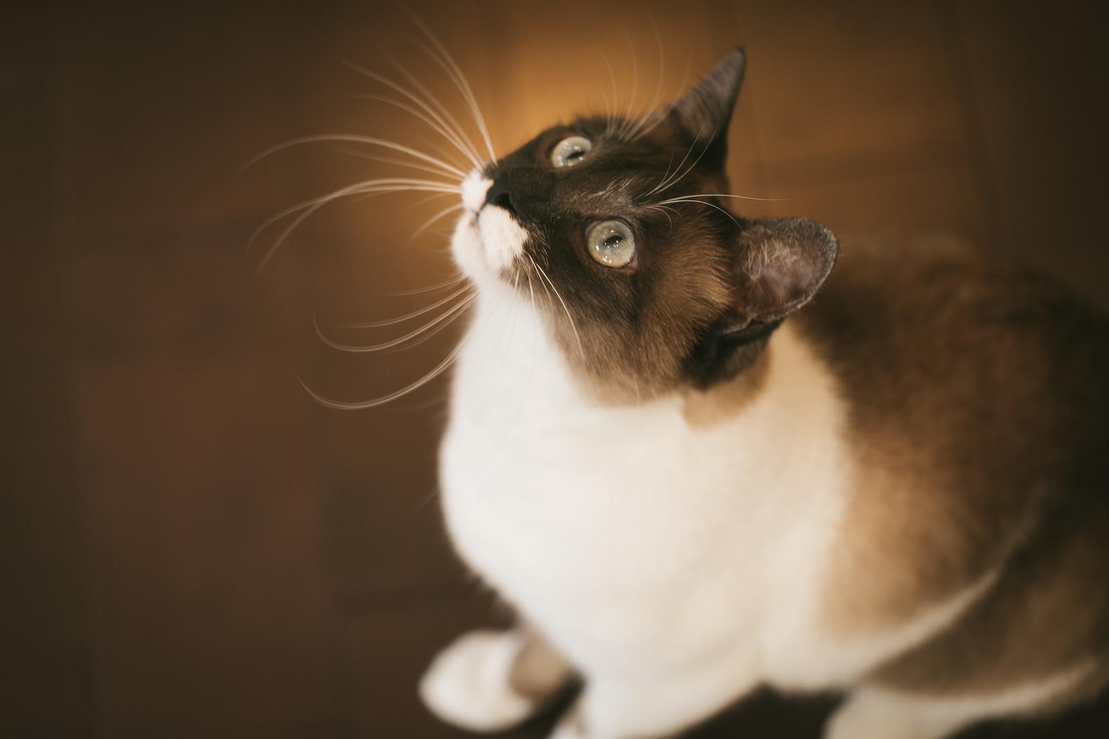 「上を見上げる愛猫」の写真