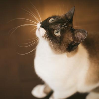 「上を見上げる愛猫」の写真素材