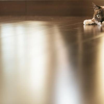 「フローリングと猫」の写真素材