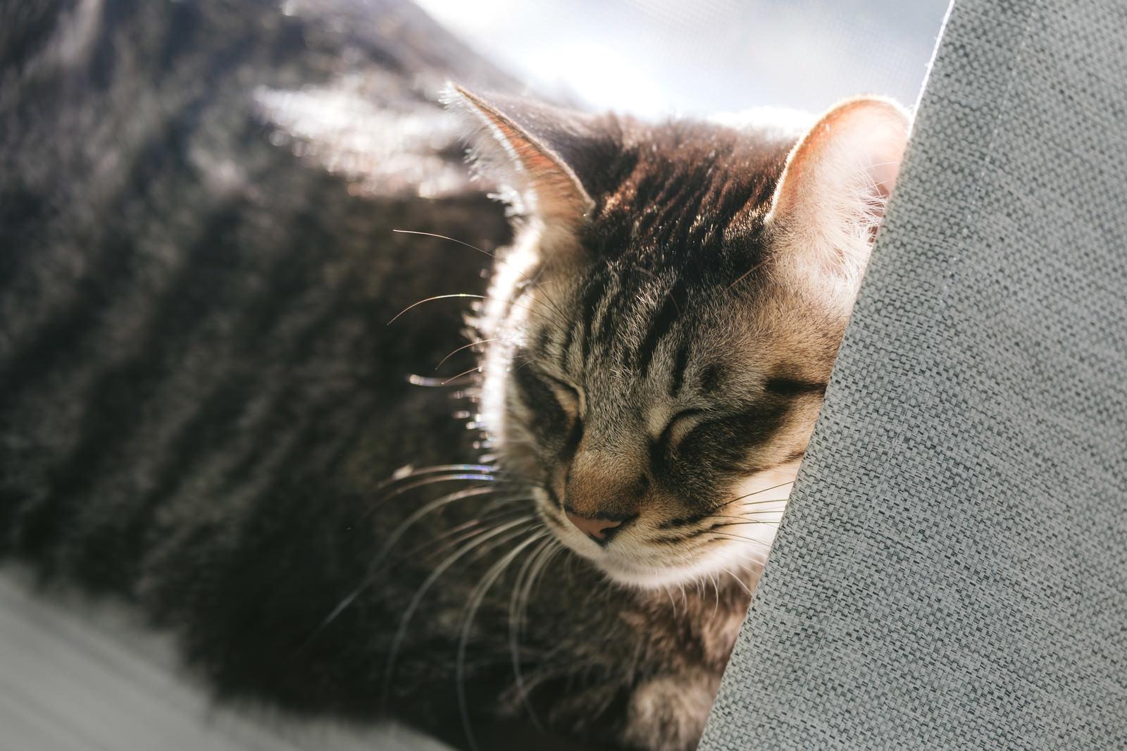 「ひなたでウトウト猫」の写真