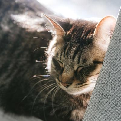 「ひなたでウトウト猫」の写真素材
