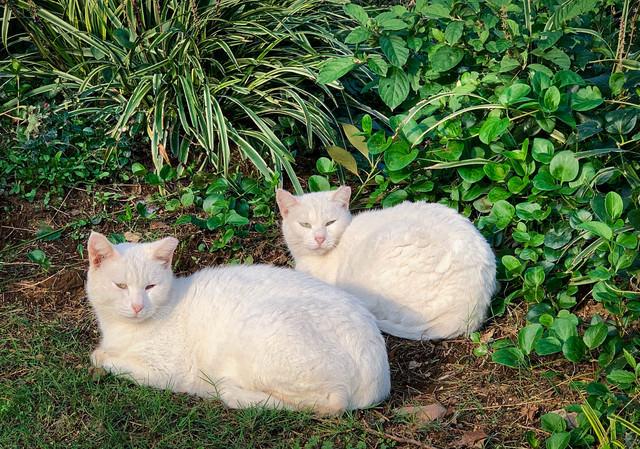 兄者と弟者(猫)の写真