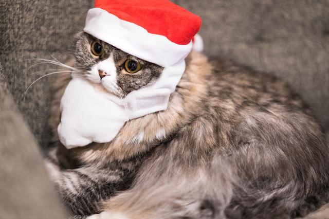 サンタ帽をかぶったスコティッシュフォールドの写真