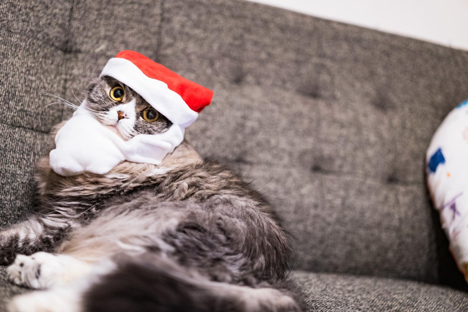 「クリスマス雰囲気を楽しむ猫(スコティッシュフォールド)」の写真