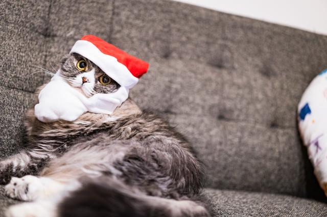 クリスマス雰囲気を楽しむ猫(スコティッシュフォールド)の写真