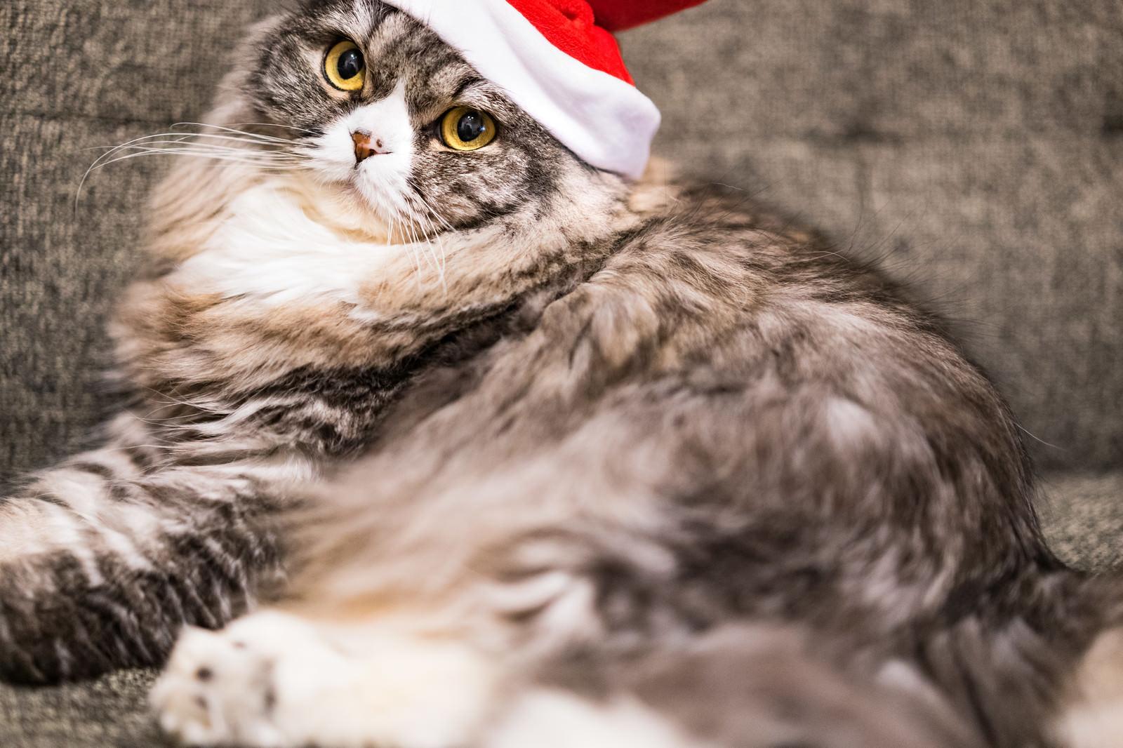 「ご主人にサンタ帽をかぶせられて不満げな猫」の写真