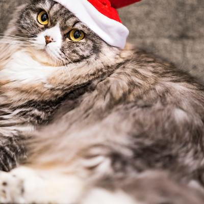 ご主人にサンタ帽をかぶせられて不満げな猫の写真