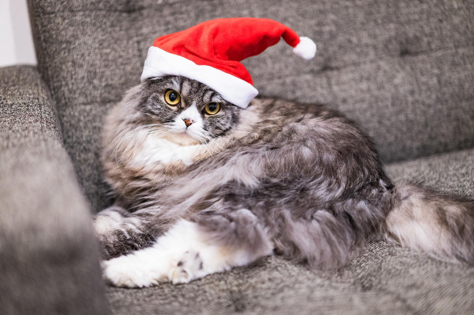「サンタ帽をかぶった猫」の写真