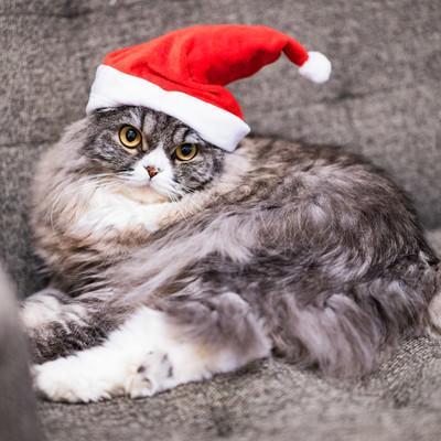 サンタ帽をかぶった猫の写真