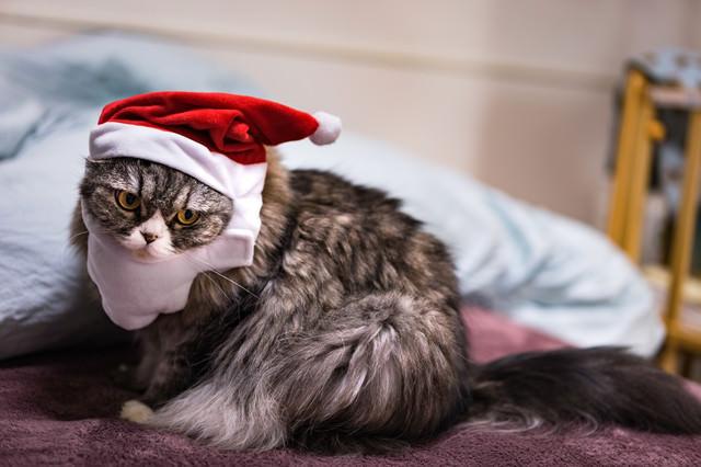 クリスマス寝過ごした猫の写真