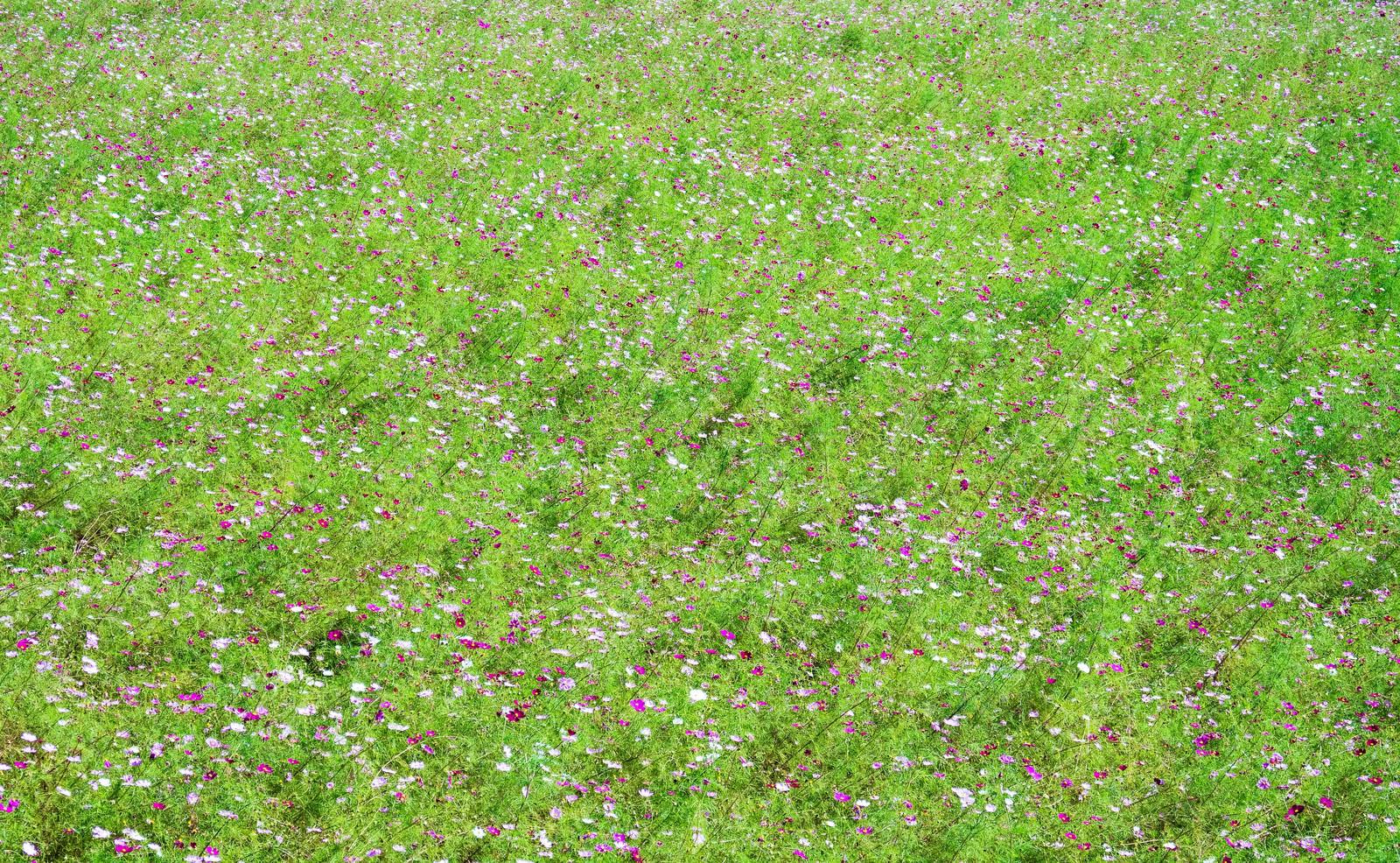 「一面のコスモスの花を上から」の写真